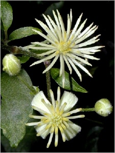 9clematis-iszalag